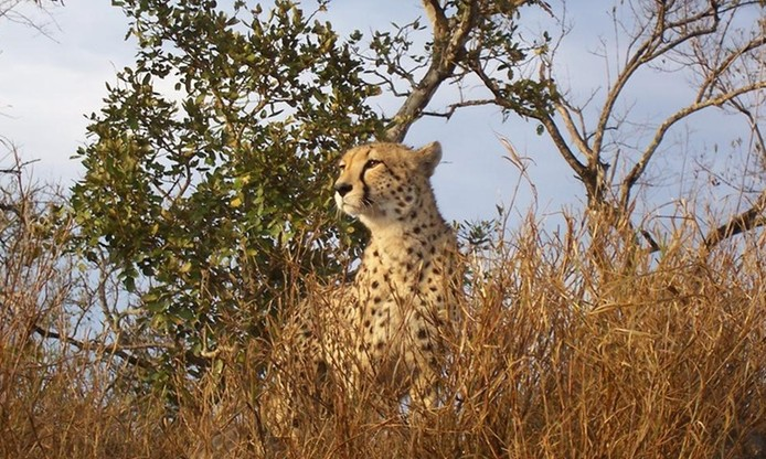 Cheetah Tour & Feeding for Two with Optional Run & Breakfast at De Wildt Shingwedzi Cheetah and Wildlife Ranch